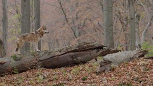 lone wolf running through woods