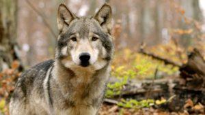 wolf close-up shot