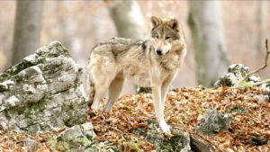 lone wolf walking towards camera