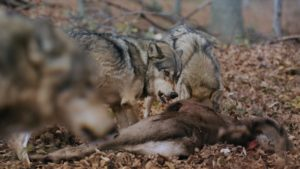 wolf pack feasting on and fighting over deer carcass