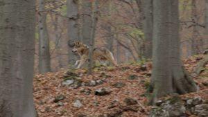 wolf pack running through woods