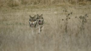 wolf pack running through open field